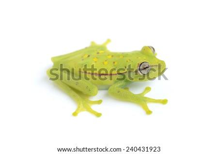 Polka dot tree frog (Hypsiboas punctatus) - stock photo