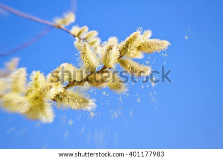 Pollen of a catkin in spring - stock photo