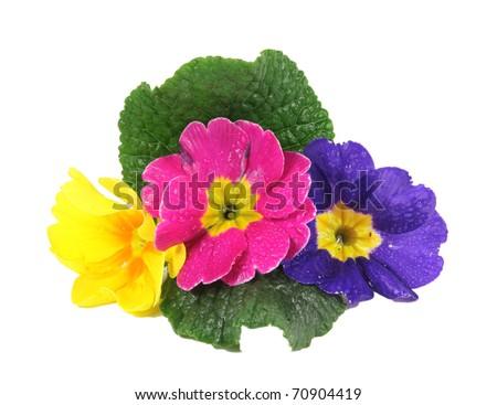 polyanthus - stock photo