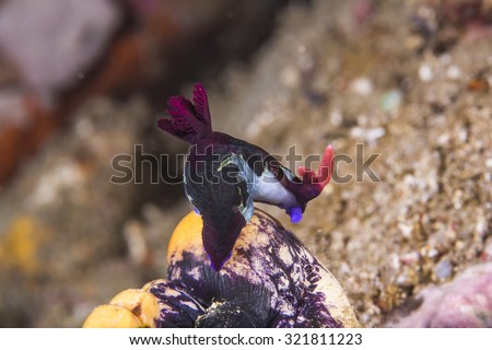 Polyceridae Red-Gilled Nembrotha Nudibranch crawling very slowly on coral reef. - stock photo