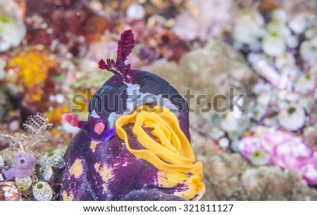 Polyceridae Red-Gilled Nembrotha Nudibranch lays egg on coral reef. - stock photo