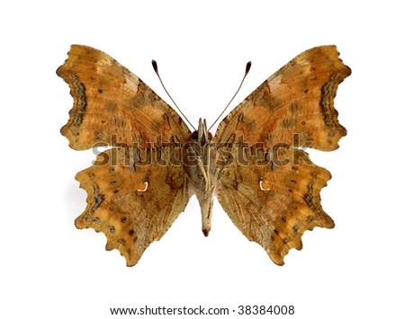 Polygonia c-album (Comma) (underside) - stock photo