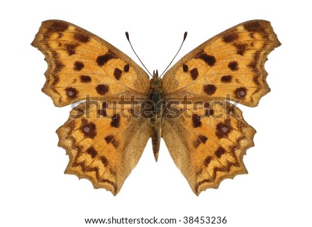 Polygonia c-aureum (Asian Comma) - stock photo