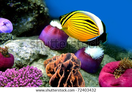 Polyp Butterflyfish and Anemone, Red Sea, Egypt - stock photo