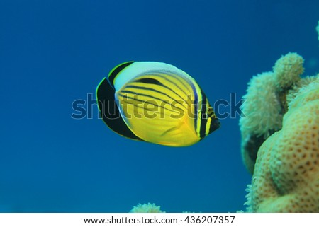Polyp butterflyfish (Chaetodon austriacus) in the coral reef of the red sea - stock photo