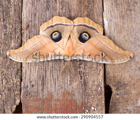 Polyphemus moth, Antheraea polypmemus, on a wood background - stock photo