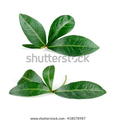 Pomegranate leaf isolated on white. Collection. With clipping path. - stock photo