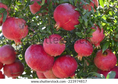 Pomegranates ripe juicy red fruit on the tree in the garden. - stock photo
