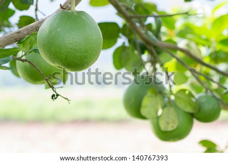 Pomelo grapefruit hanging on the branches. - stock photo