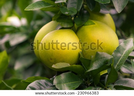 Pomelo hanging on tree - stock photo
