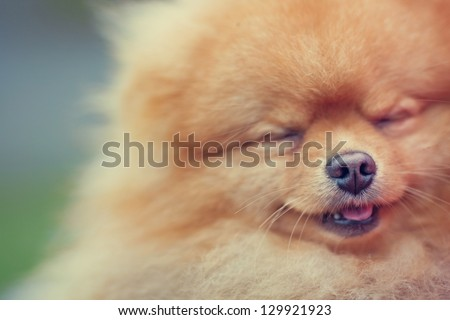 Pomeranian - stock photo