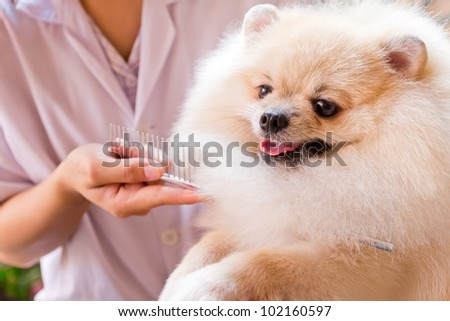pomeranian after shower with comb - stock photo