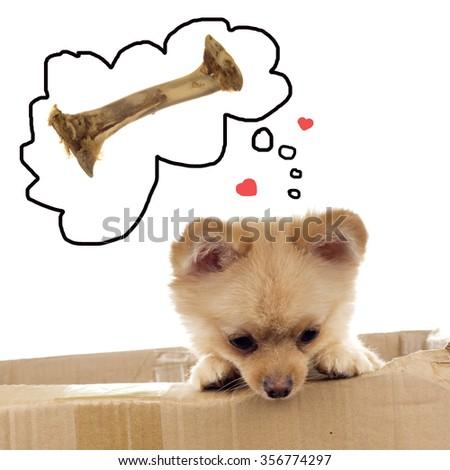 Pomeranian ala Little Bear dreaming about chewie - stock photo