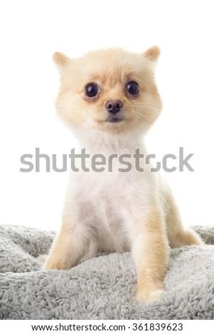 Pomeranian ala Little Bear Hair Cut; non sharpen - stock photo