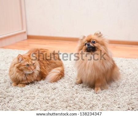 Pomeranian dog and cat sitting on the carpet - stock photo