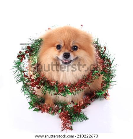 pomeranian dog dressed christmas decoration - stock photo