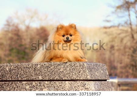 Pomeranian dog. Funny autumn pomeranian dog. Dog in autumn park. Serious dog. Cute dog - stock photo