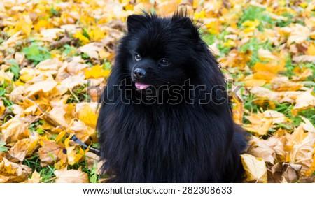 pomeranian dog german spitz autumn season - stock photo