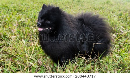 pomeranian dog german spitz outdoor - stock photo