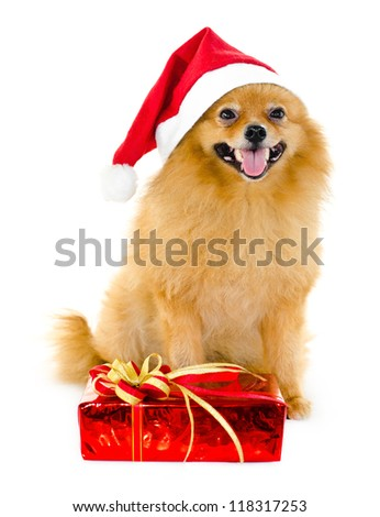 Pomeranian dog in a red Santa Claus hat and gift box on white background. - stock photo