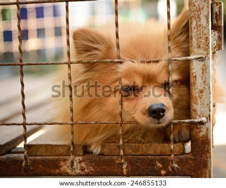 pomeranian dog in dog cage  - stock photo