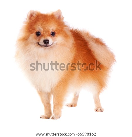 Pomeranian dog isolated on a white background - stock photo
