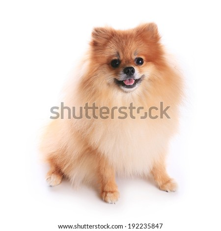pomeranian dog isolated on white background, cute pet in home - stock photo
