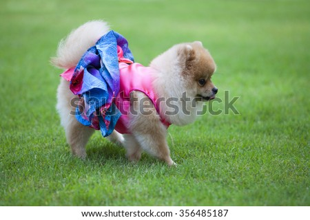 Pomeranian dog on the lawn it wear clothes for dog and clothes of pom has ping and blue color. - stock photo