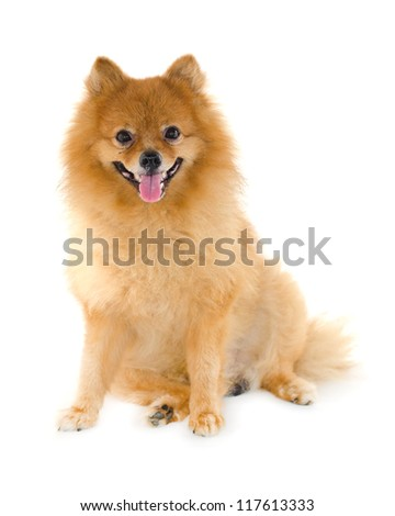 Pomeranian dog on white background. - stock photo