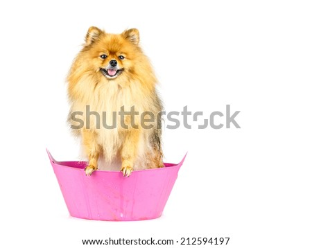Pomeranian dog prepare to taking a bath standing in pink bathtub isolated on white background - stock photo