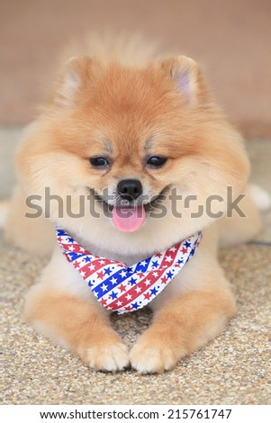 pomeranian dog puppy cute pet in home - stock photo