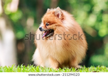 Pomeranian dog relaxing on green grass in the garden - stock photo