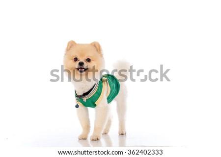 pomeranian dog short hair on white background - stock photo