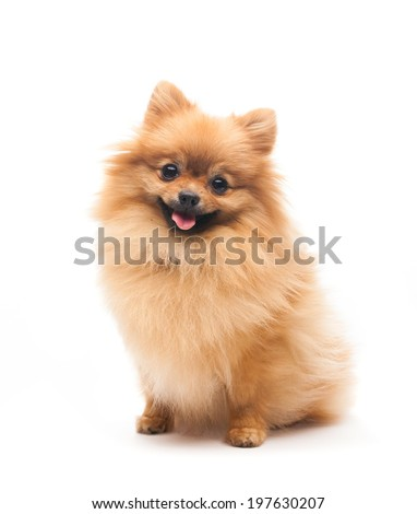 pomeranian dog sitting on isolated background - stock photo