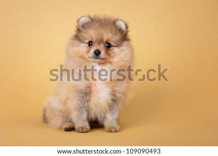 Pomeranian dog, spitz puppy over light brown background - stock photo