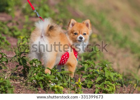 Pomeranian dog stand on the garden - stock photo