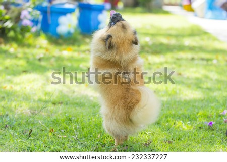 Pomeranian dog standing on green grass in the garden - stock photo