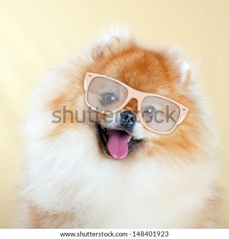 Pomeranian dog wearing sunglasses - stock photo