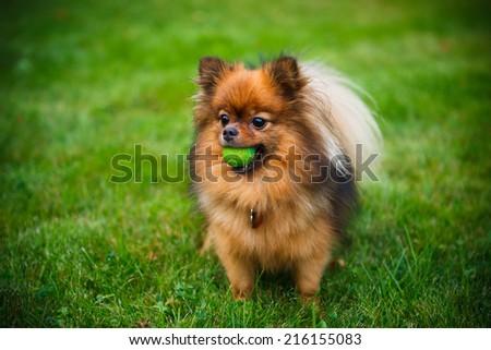 Pomeranian dog (Zwergspitz) on green grass - stock photo