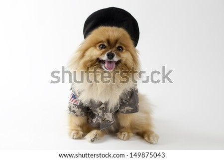 Pomeranian dressed in army uniform with hat - stock photo