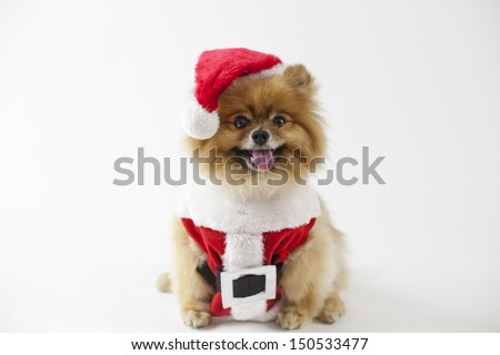Pomeranian dressed in Christmas Santa Claus outfit  - stock photo