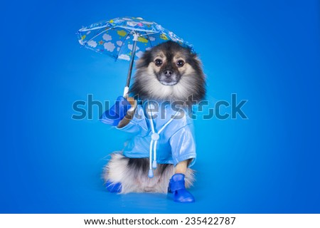 Pomeranian in a raincoat with umbrella isolated on a blue background - stock photo