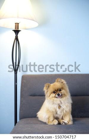 Pomeranian in studio shot, on gray sofa, blue wall, head tilted - stock photo