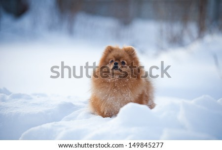 Pomeranian in the winter in the snow - stock photo