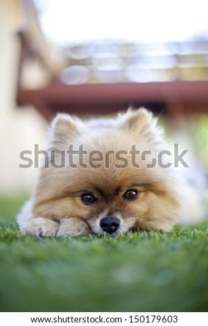 Pomeranian lying on grass at backyard - stock photo