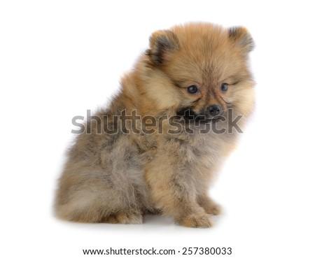 Pomeranian puppies isolated on white background. - stock photo
