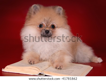 Pomeranian puppy and a book - stock photo