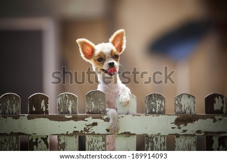 pomeranian puppy dog climbing old wood fence use for animals and pets topic - stock photo