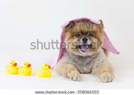 Pomeranian puppy getting out from a bath with rubber ducks - stock photo