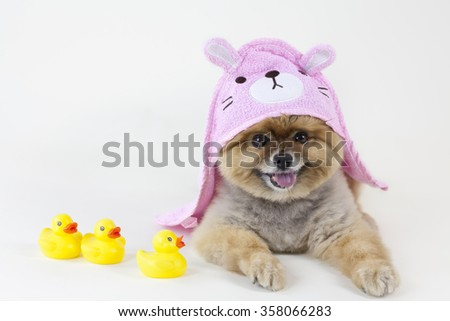 Pomeranian puppy getting out from a bath with rubber ducks and pink rabbit towel - stock photo